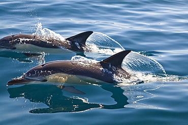 Short-beaked Dolphins (Delphinus delphis) in the Atlantic, off Algarve, Portugal, Europe
