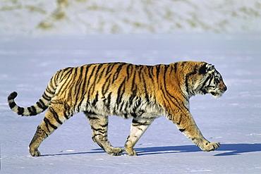 Siberian Tiger (Panthera tigris altaica), in the snow, Siberia Tiger Park, Harbin, China