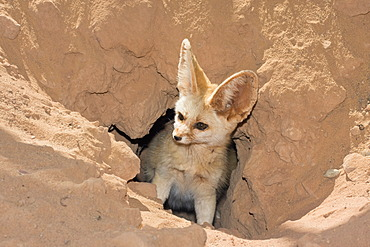 Fennec fox (Canis zerdus) looking out of his burrow, Libyan Desert, Libya, Sahara, Africa