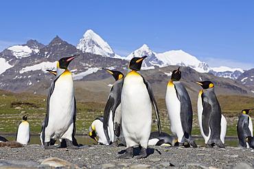 King penguins (Aptenodytes patagonicus), St. Andrews Bay, South Georgia, sub-Antarctic and Antarctic