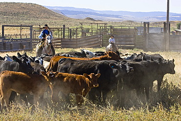 Cowgirl and cowboy with cattle, Oregon, USA