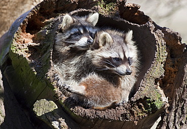 Two raccoons (Procyon lotor) in a hollow tree trunk