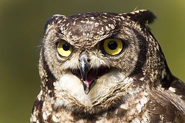 Spotted eagle-owl (Bubo africanus), portrait