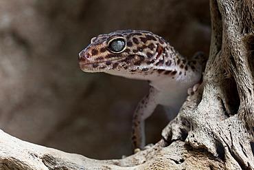 Leopard Gecko (Eublepharis macular)