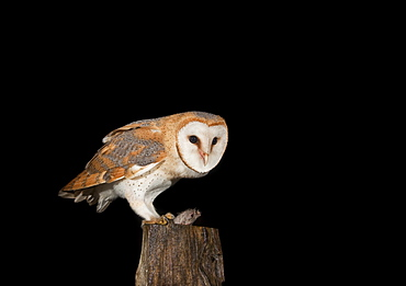 Barn Owl (Tyto alba) feeding on mouse on a fence post, Vulkaneifel district, Rhineland-Palatinate, Germany, Europe