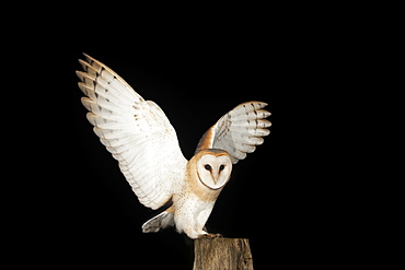 Barn Owl (Tyto alba) on a fence post, Volcanic Eifel, Rhineland-Palatinate, Germany, Europe