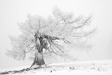 Old larch tree (Larix) in winter, Weiz, Almenland region, Sommeralm alp, Teichalm alp, Styria, Austria, Europe