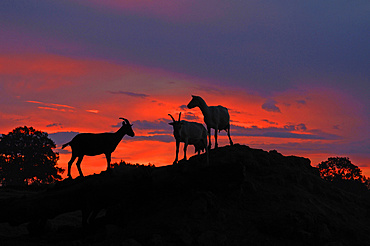 Dairy goats in silhouette on a hill against the evening sky, organic goat farm Othenstorf, Mecklenburg-Western Pomerania, Germany, Europe