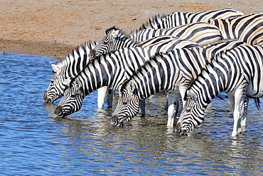 Herd of Burchell's zebras (Equus quagga burchellii) drinking at waterhole, Etosha National Park, Namibia, Africa