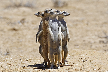 Standing meerkats (Suricatta suricata), on guard, Kgalagadi Transfrontier Park, Northern Cape, South Africa, Africa