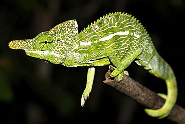 Labord's chameleon (Furcifer labordi), male, Kirindy National Park, Madagascar, Africa