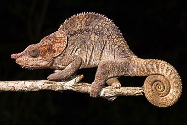 Short-horned chameleon (Calumma brevicorne), male, Analamazoatra, Andasibe National Park, Madagascar, Africa