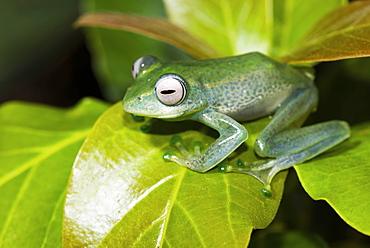 Elena's Madagascar rudder frog on one leaf, leaf frog (Boophis elenae), Andasibe National Park, Madagascar, Africa
