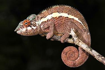 Panther chameleon (Furcifer Pardalis), male, Ankaramibe, Boeny, Madagascar, Africa