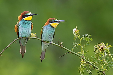 Bee-eater (Merops apiaster), couple sits on branch, Saxony-Anhalt, Germany, Europe