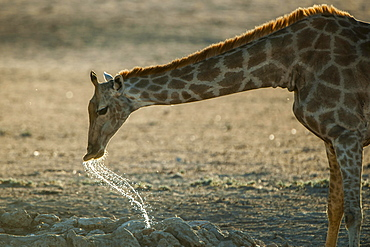 Giraffe (Giraffa camelopardalis) drinking, Kgalagadi-Transfrontier-Nationalpark, Northern Cape Province, South Africa, Africa