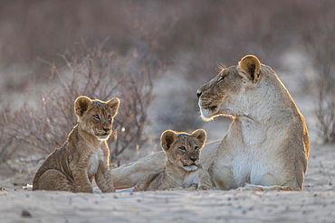 Lioness (Panthera leo) with two cubs, Kgalagadi Transfrontier Park, Northern Cape, South Africa, Africa