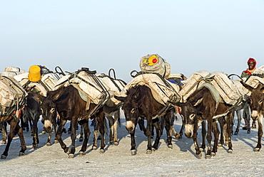 Donkeys transport salt blocks from the salt mines, Assale Salt Lake, Lake Assale, Danakil Valley, Afar Region, Ethiopia, Africa