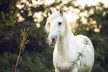 Camargue stallion (Equus) stands on the meadow, animal portrait, stallion France