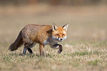 Red fox (Vulpes vulpes) with winter fur, running, Biosphere Reserve Mittelelbe, Saxony-Anhalt, Germany, Europe