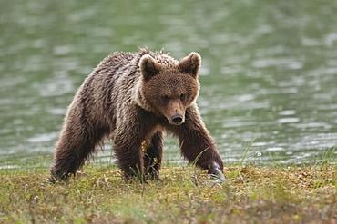 Brown bear (Ursus arctos) by water, Kainuu, Karelia, Finland, Europe