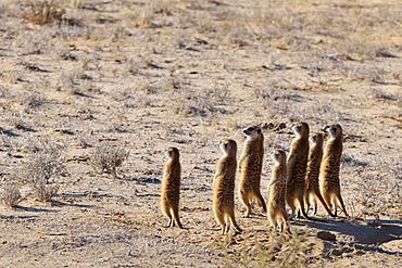 Group of Meerkats (Suricata suricatta), standing, attentive, Kgalagadi Transfrontier Park, Northern Cape, South Africa, Africa