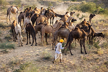 Camels on way to Pushkar Mela, camel and cattle market, Pushkar, Rajasthan, India, Asia