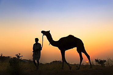 Silhouette of a man holding the reins of his camel at sunset, Pushkar Camel Fair, Pushkar, Rajasthan, India, Asia