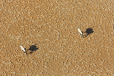 Gemsboks or gemsbucks (Oryx gazella) on sandy plain in Namib Desert, aerial view, Namib-Naukluft National Park, Namibia, Africa