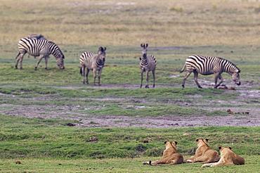Three lions (Panthera leo) and a group of Burchell's Zebra (Equus quagga burchelli), Chobe National Park, Botswana, Africa