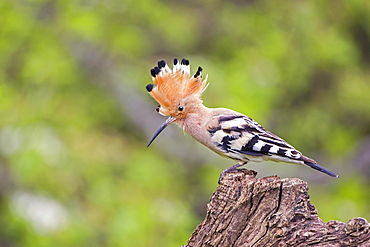 Hoopoe (Upupa epops) with raised crest, Tuscany, Italy, Europe