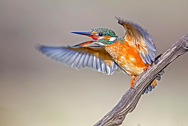 Eurasian kingfisher (Alcedo atthis) flapping wings excitedly, female, Middle Elbe Biosphere Reserve, Saxony-Anhalt, Germany, Europe