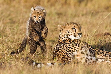 Cheetahs (Acinonyx jubatus), six-week-old cheetah cub playing with his mother, Maasai Mara National Reserve, Narok County, Kenya, Africa