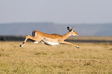 Fleeing, jumping Impala (Aepyceros melampus), Maasai Mara National Reserve, Narok County, Kenya, Africa