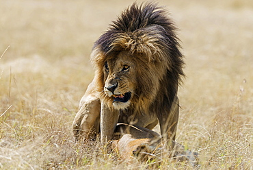 Lions (Panthera leo) mating, Masai Mara, Narok County, Kenya, Africa