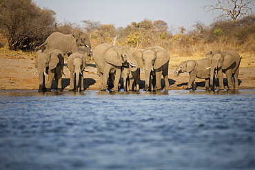 African elephants (Loxodonta africana) drinking at the Okavango river, Caprivi, Namibia, Africa