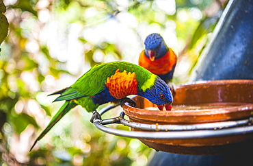 Swainson's Lorikeet (Trichoglossus haematodus moluccanus) eat from bowl, also Allfarblori, Wedge-tailed Lory, Blue-cheeked Lory, Broad-banded Lory, Rainbow-Lori, captive, occurrence Australia