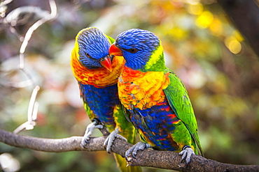 Pair, two, Swainson's Lorikeet (Trichoglossus haematodus moluccanus) sit on branch and beak, also allfarblori, wedge-tailed lory, blue-cheeked lory, broad-banded lori, rainbow lori, captive, occurrence Australia