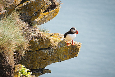 Atlantic puffin (Fratercula arctica) sitting on a ledge, cliff, L�trabjarg, Westfjords, Iceland, Europe