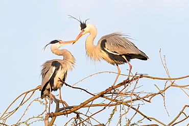 Grey Heron (Ardea cinerea) pair on tree, Hesse, Germany, Europe