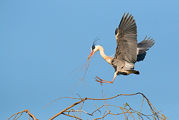 Grey Heron (Ardea cinerea) with nesting material approaching a tree, Hesse, Germany, Europe