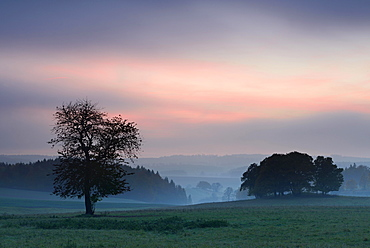 Cherry (Prunus sp.) tree and copse, sunset, fog, Hasselfelde, Saxony-Anhalt, Germany, Europe