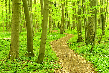 Hiking trail winding through natural beech forest, UNESCO World Natural Heritage, National Park Hainich, Thuringia, Germany, Europe
