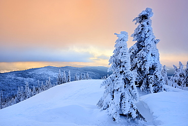 Morning atmosphere, snow-covered spruces on the mountain Lusen in winter, Bavarian Forest National Park, Bavaria, Germany, Europe