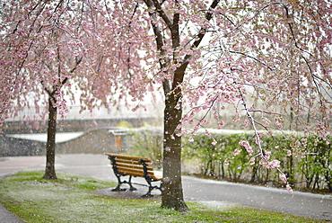 Blossoming Cherry tree (Prunus x subhirtella) during snowfall, Innsbruck, Tyrol, Austria, Europe