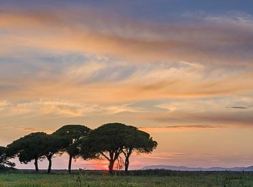 Green pine trees at sunset, Albarese, Tuscany, Italy, Europe