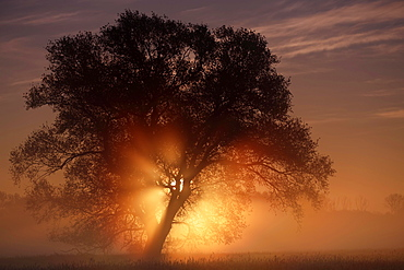 Sunrise in the floodplain, Middle Elbe Biosphere Reserve, Saxony-Anhalt, Germany, Europe