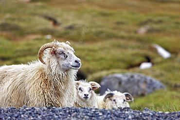 Icelandic sheep (Ovis), Valpjofsstaðir, Iceland, Europe