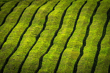 Tea bushes in a row, tea plantation Che Gorreana, near Sao Bras de Alportel, Sao Miguel, Azores, Portugal, Europe
