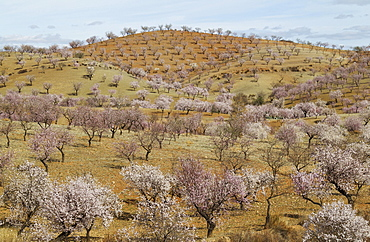 Cultivated Almond trees (Prunus dulcis) in full blossom, Almeria province, Andalusia, Spain, Europe